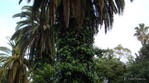 Марокканские пальмы