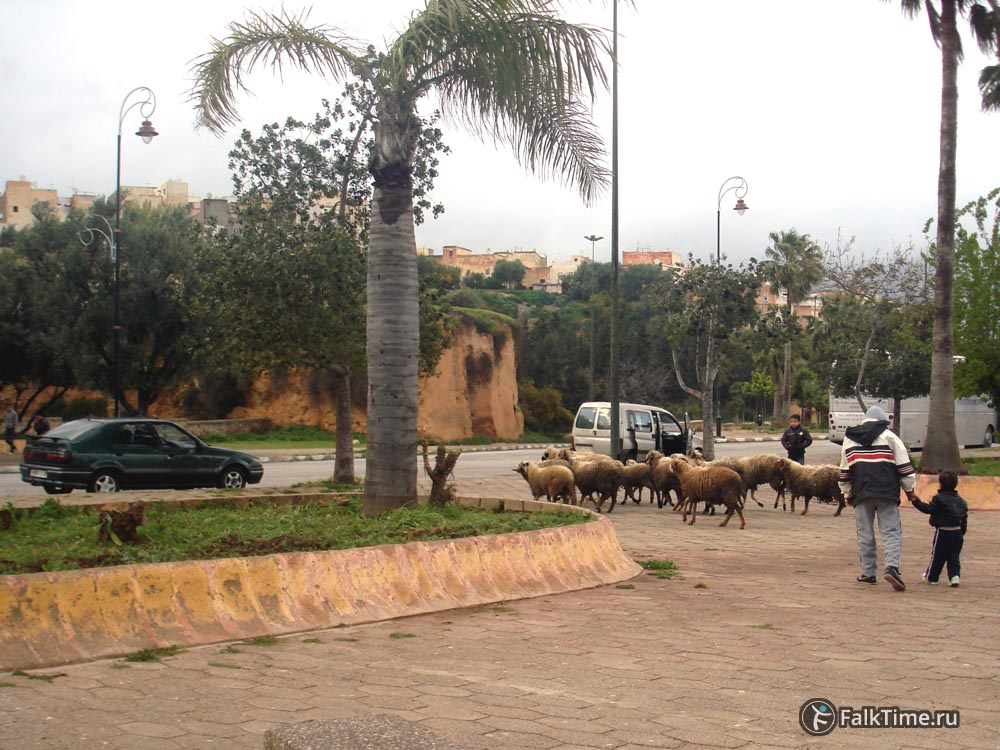 Овцы в городе