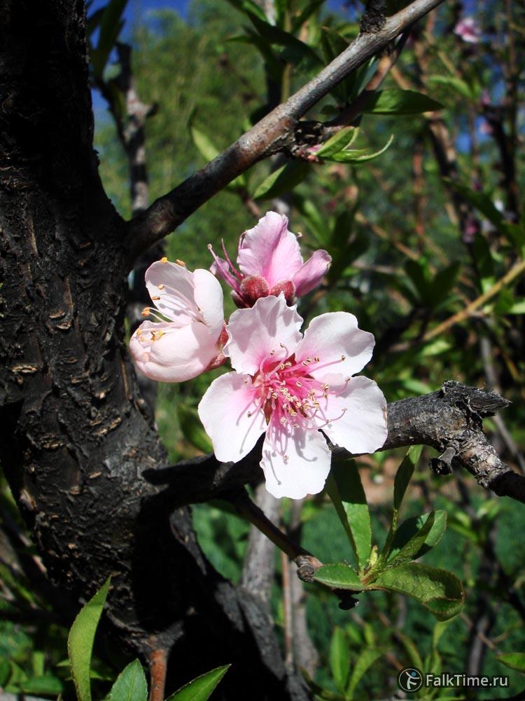 Цветы миндаля