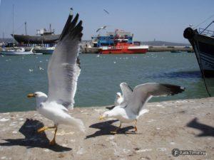 Чайки дерутся