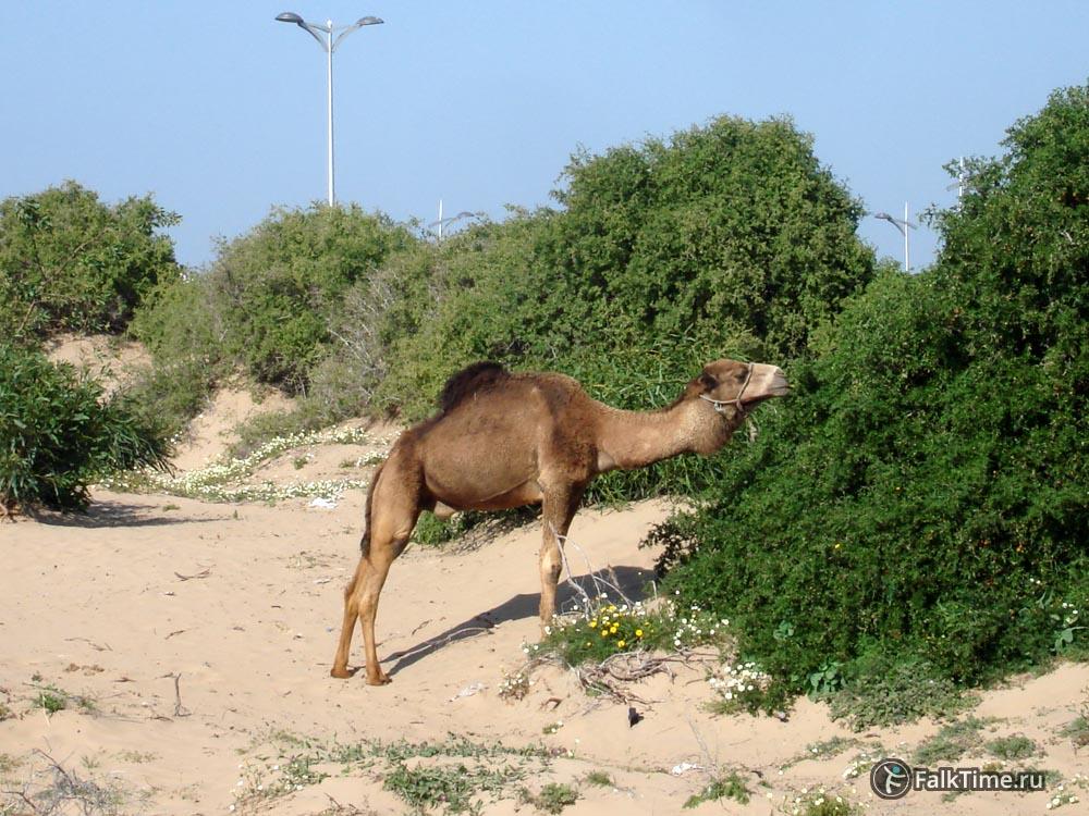 Верблюд поедает кусты
